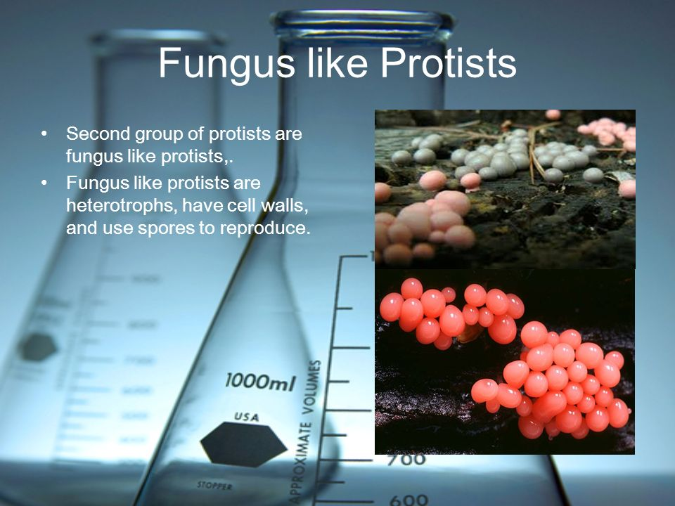 Fungus like Protists Second group of protists are fungus like protists,.