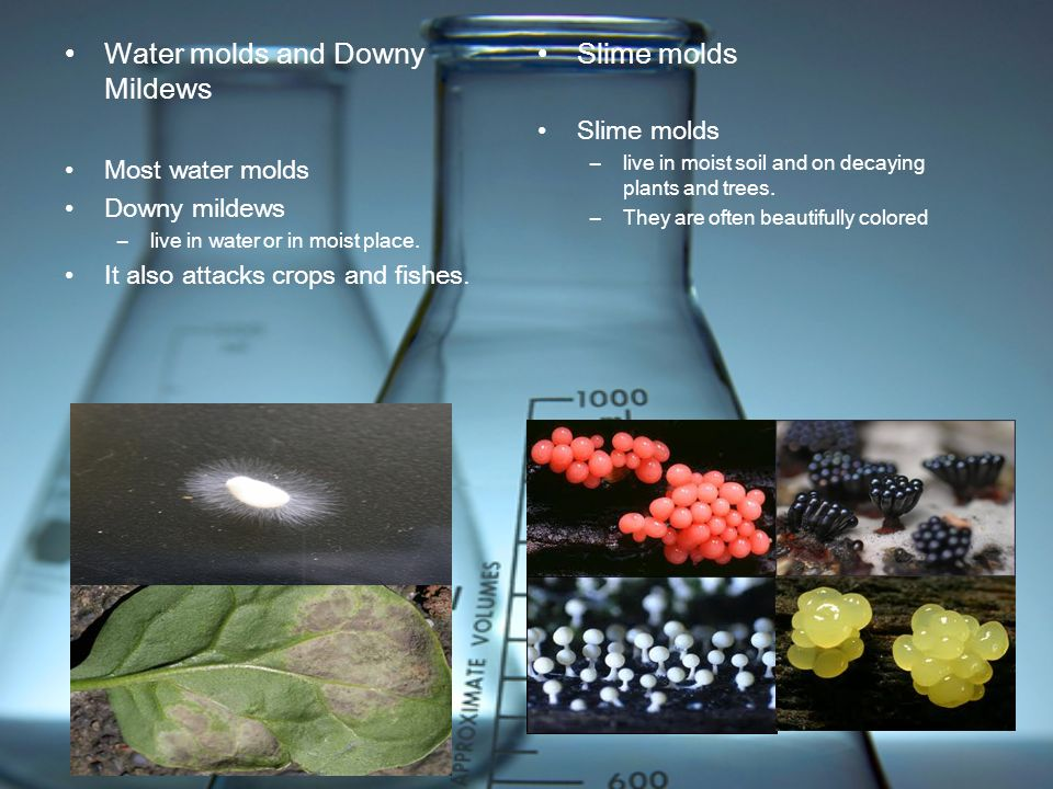 Water molds and Downy Mildews Slime molds