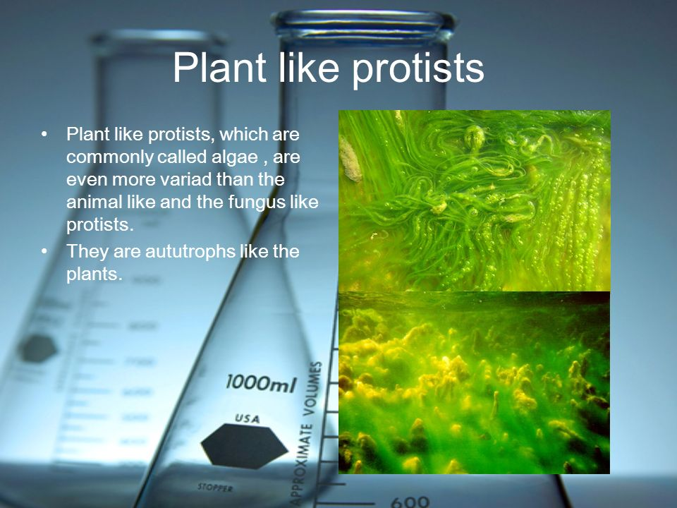 Plant like protists Plant like protists, which are commonly called algae , are even more variad than the animal like and the fungus like protists.