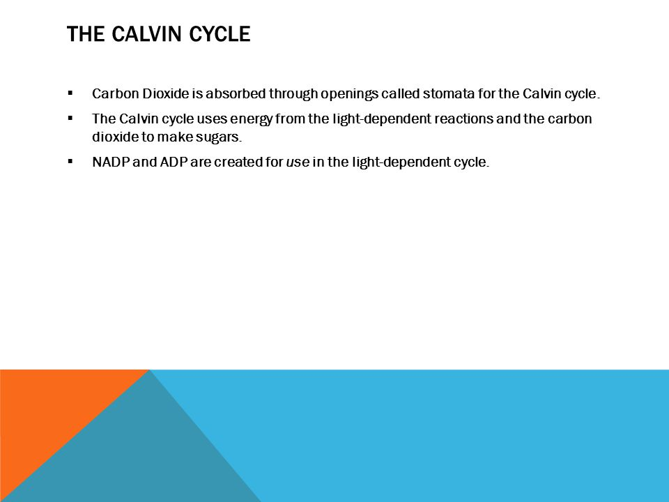 The Calvin Cycle Carbon Dioxide is absorbed through openings called stomata for the Calvin cycle.