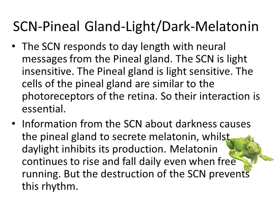 SCN-Pineal Gland-Light/Dark-Melatonin