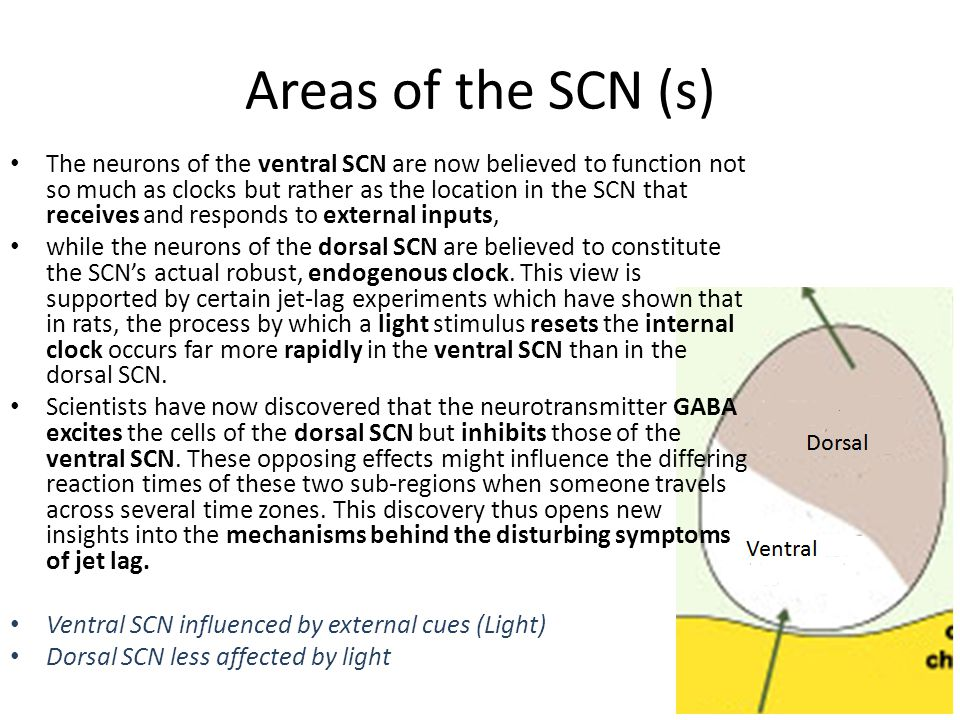 Areas of the SCN (s)