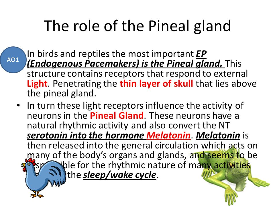 The role of the Pineal gland