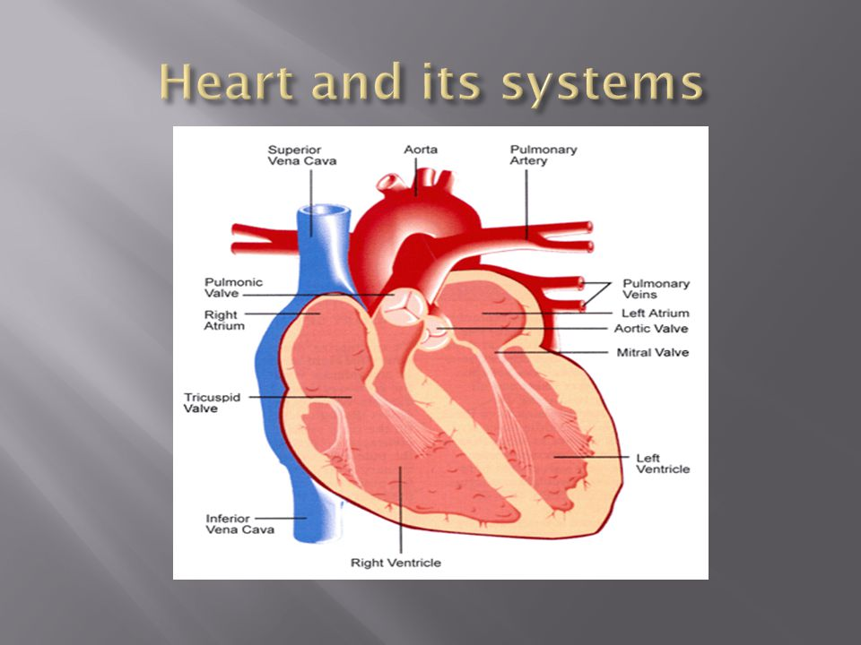 Heart and its systems
