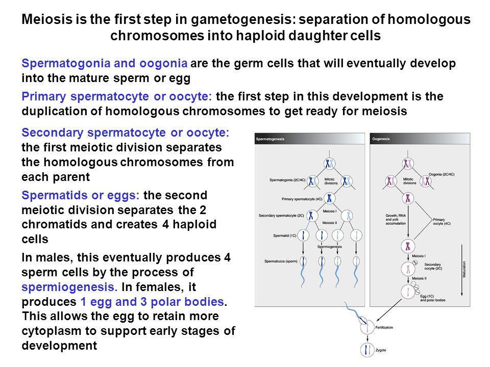 How many chromosomes in mature sperm — 5