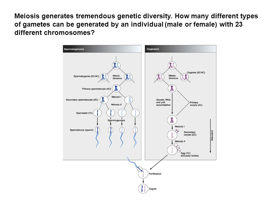 Meiosis generates tremendous genetic diversity