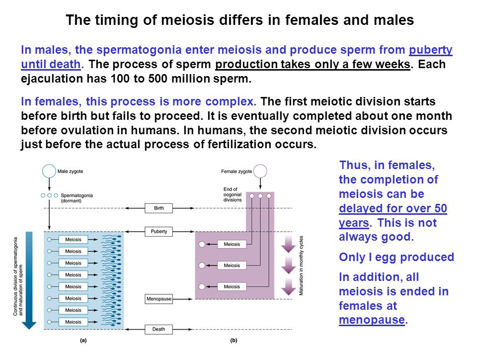The timing of meiosis differs in females and males