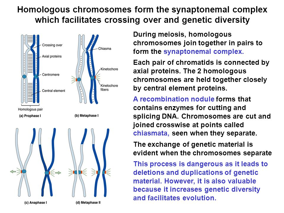 Homologous chromosomes form the synaptonemal complex