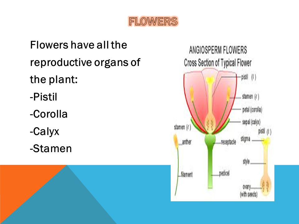 flowers Flowers have all the reproductive organs of the plant: -Pistil -Corolla -Calyx -Stamen