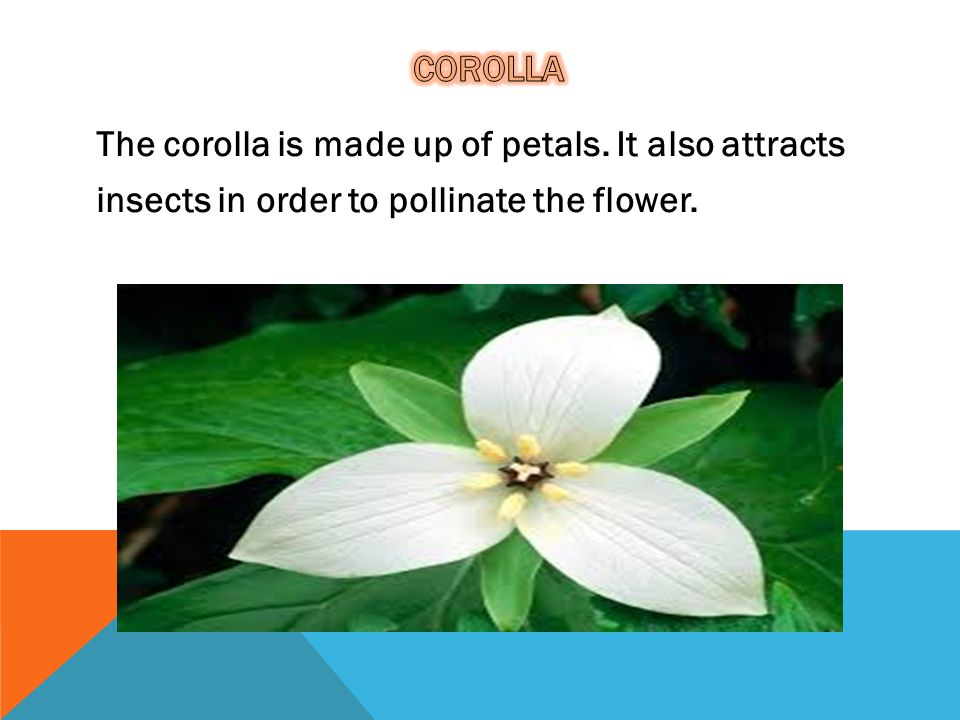 Corolla The corolla is made up of petals.