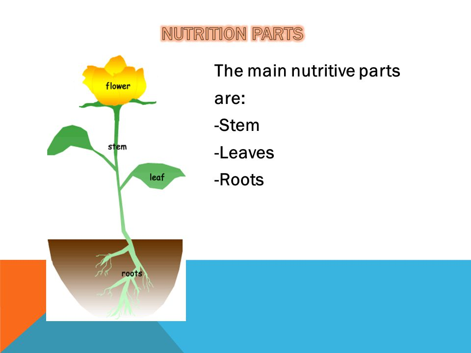 Nutrition PARTS The main nutritive parts are: -Stem -Leaves -Roots
