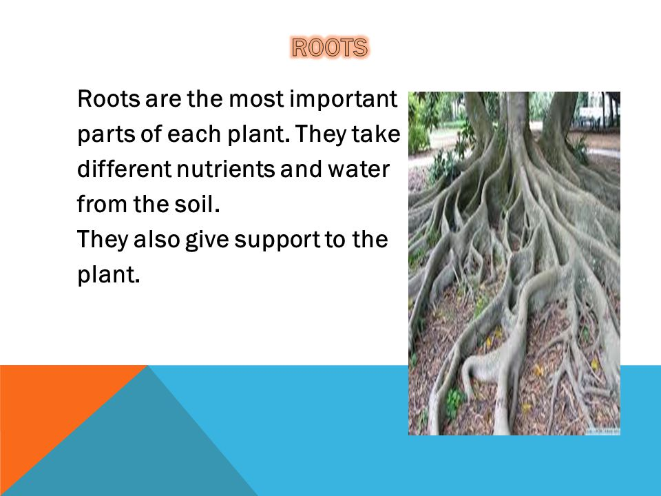 roots Roots are the most important parts of each plant.