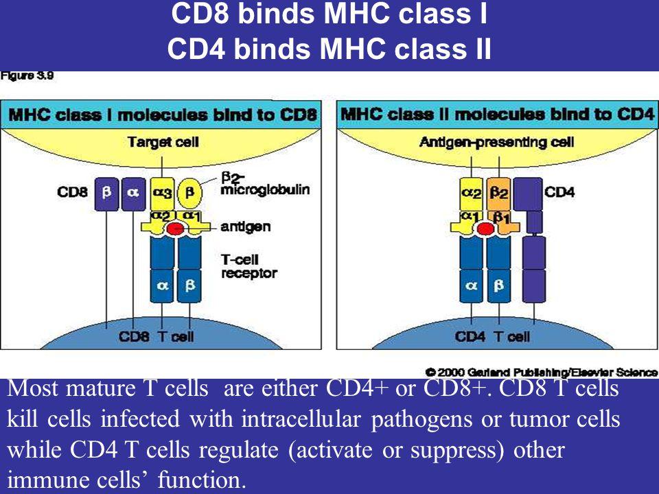 CD8 binds MHC class I CD4 binds MHC class II