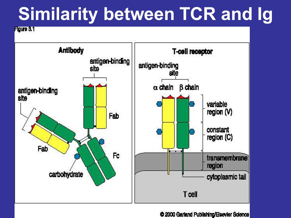 Similarity between TCR and Ig