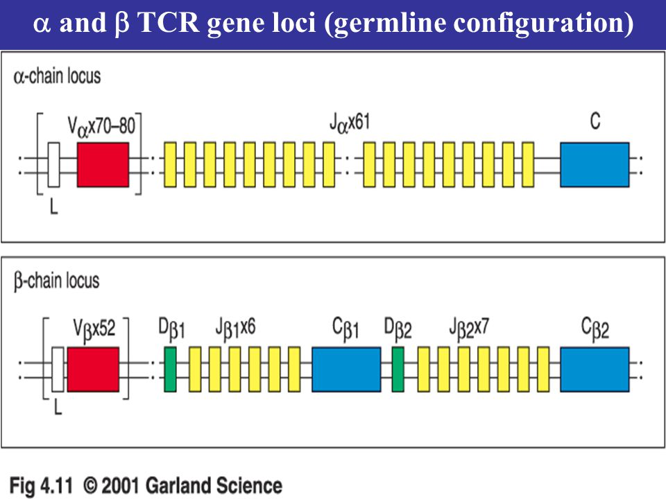 a and b TCR gene loci (germline configuration)