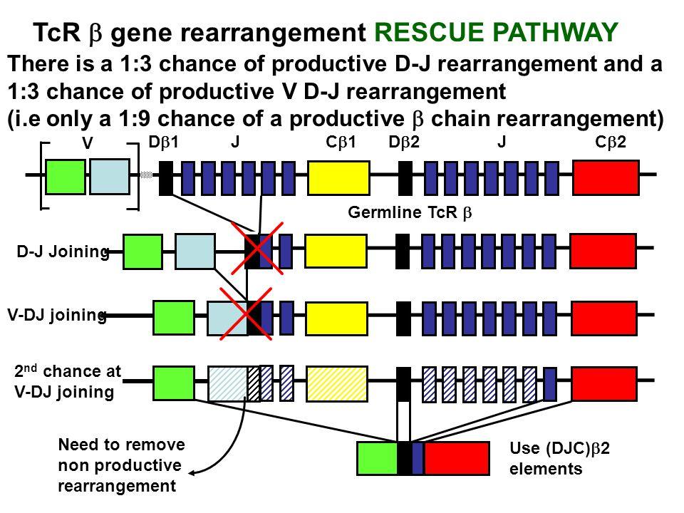 TcR b gene rearrangement RESCUE PATHWAY