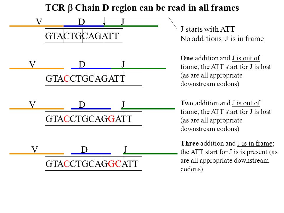 TCR b Chain D region can be read in all frames