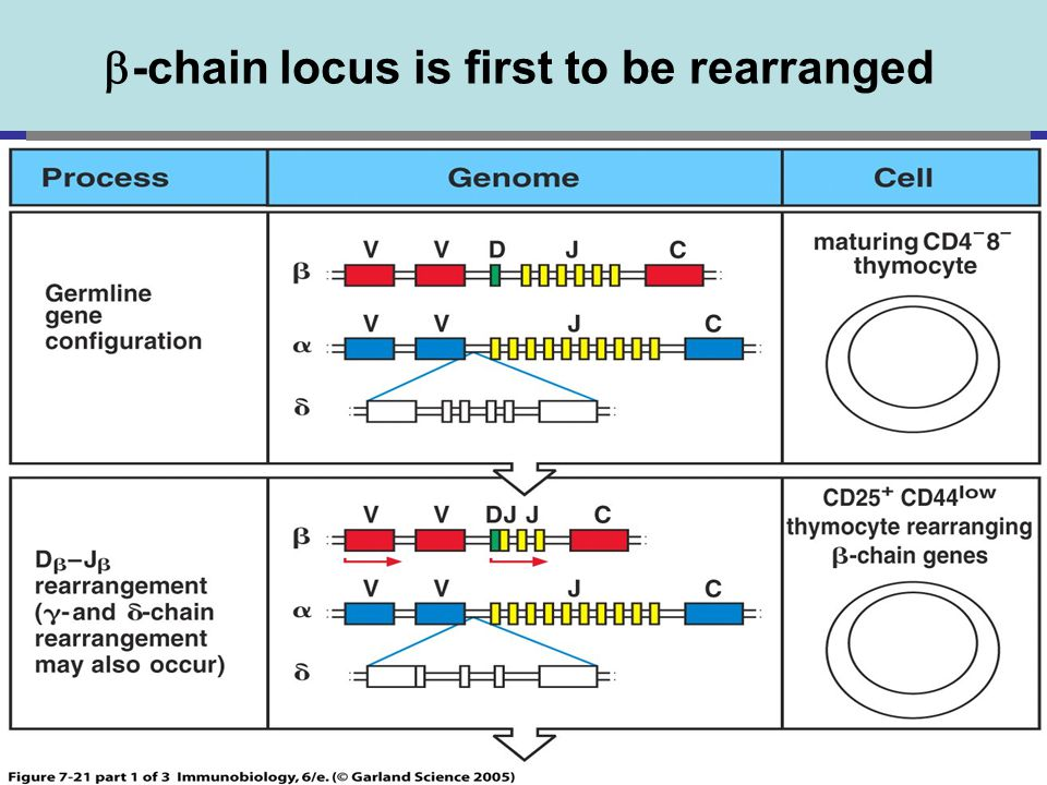 -chain locus is first to be rearranged