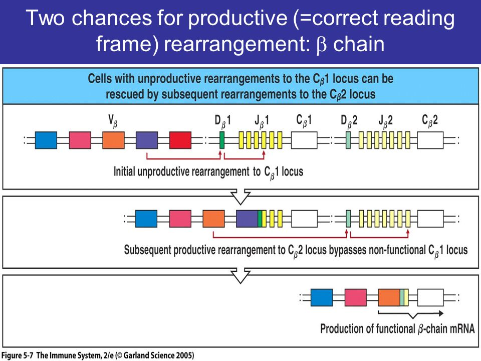 Two chances for productive (=correct reading frame) rearrangement: b chain