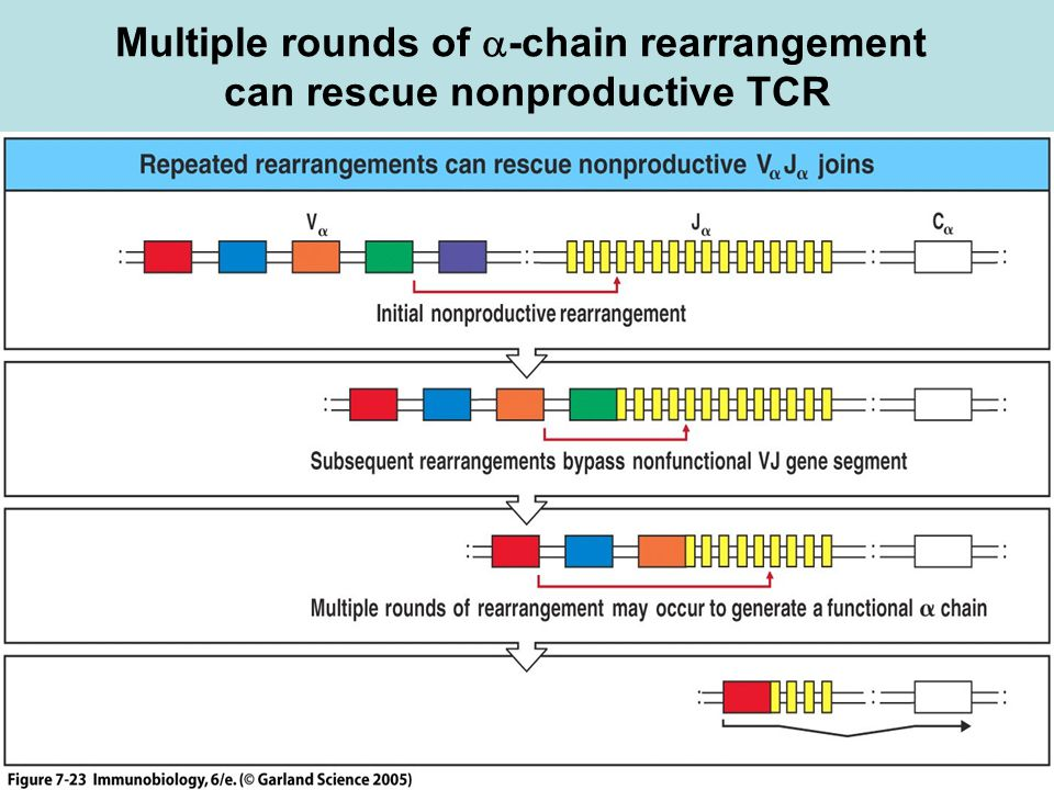 Multiple rounds of -chain rearrangement can rescue nonproductive TCR