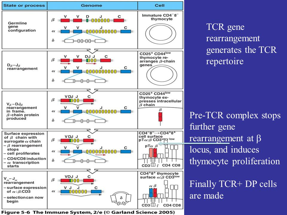 TCR gene rearrangement generates the TCR repertoire