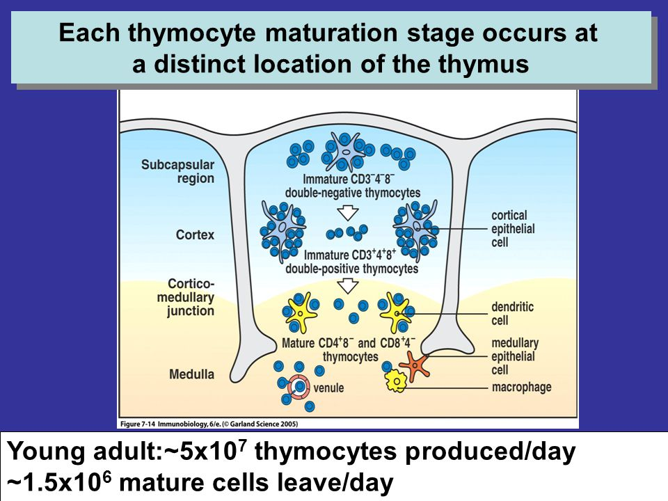 Each thymocyte maturation stage occurs at