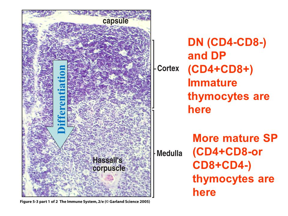 Figure 5-3 part 1 of 2 DN (CD4-CD8-) and DP (CD4+CD8+) Immature