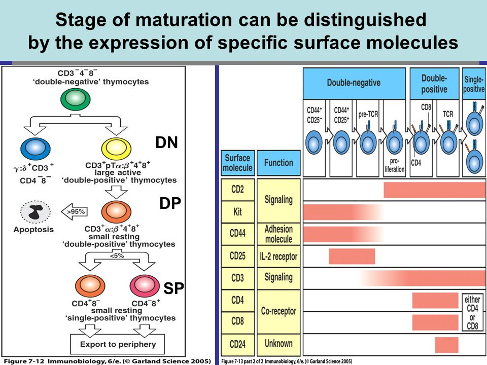 Stage of maturation can be distinguished