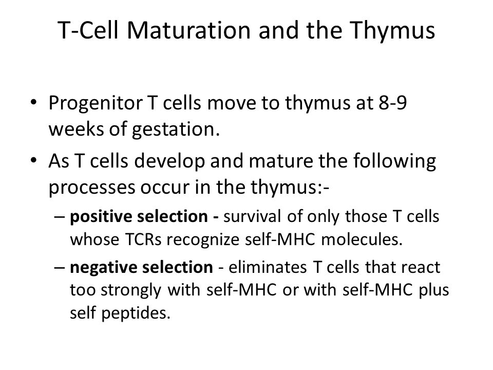 T-Cell Maturation and the Thymus