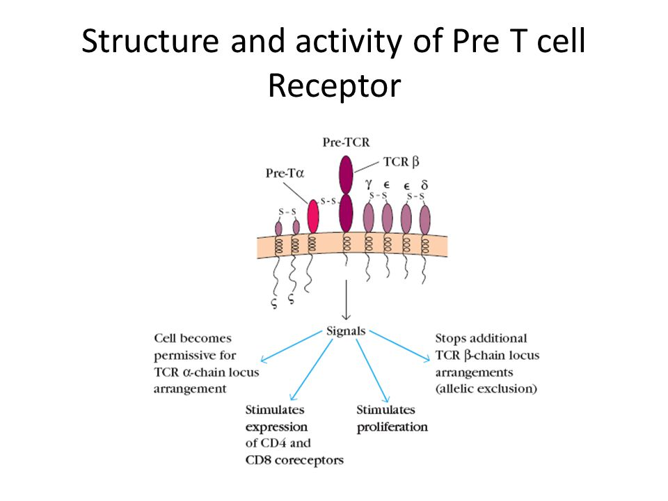 Structure and activity of Pre T cell Receptor