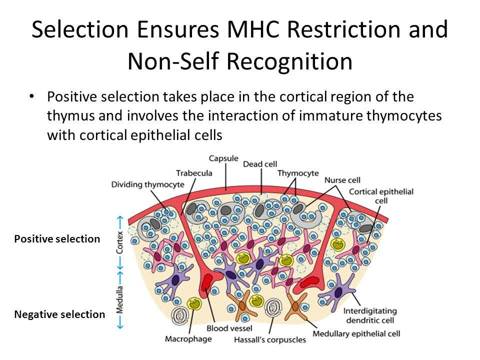 Selection Ensures MHC Restriction and Non-Self Recognition