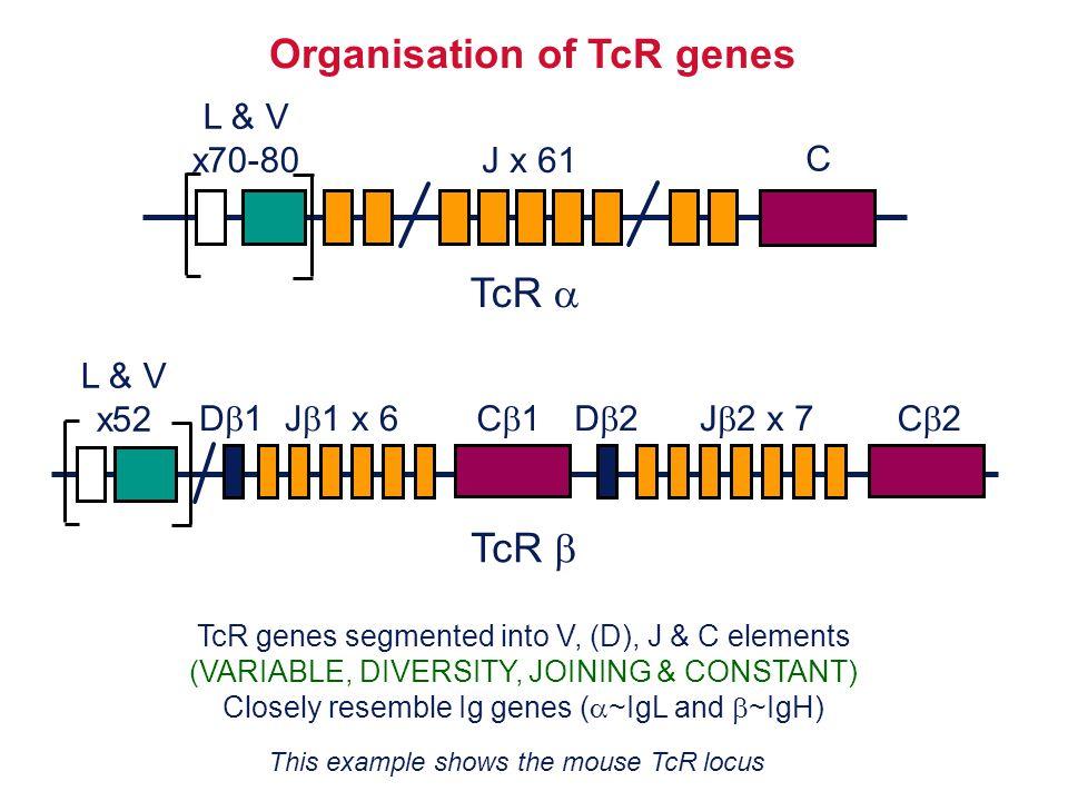Organisation of TcR genes