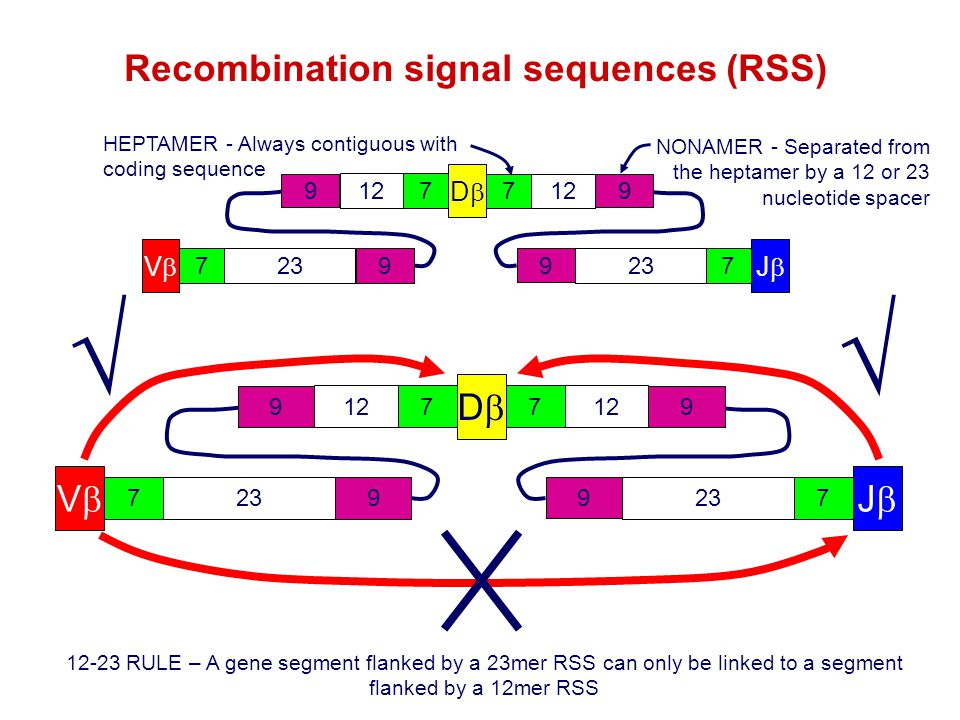 Recombination signal sequences (RSS)