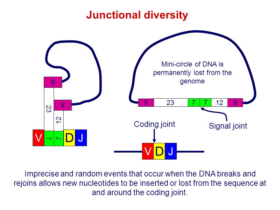 Mini-circle of DNA is permanently lost from the genome