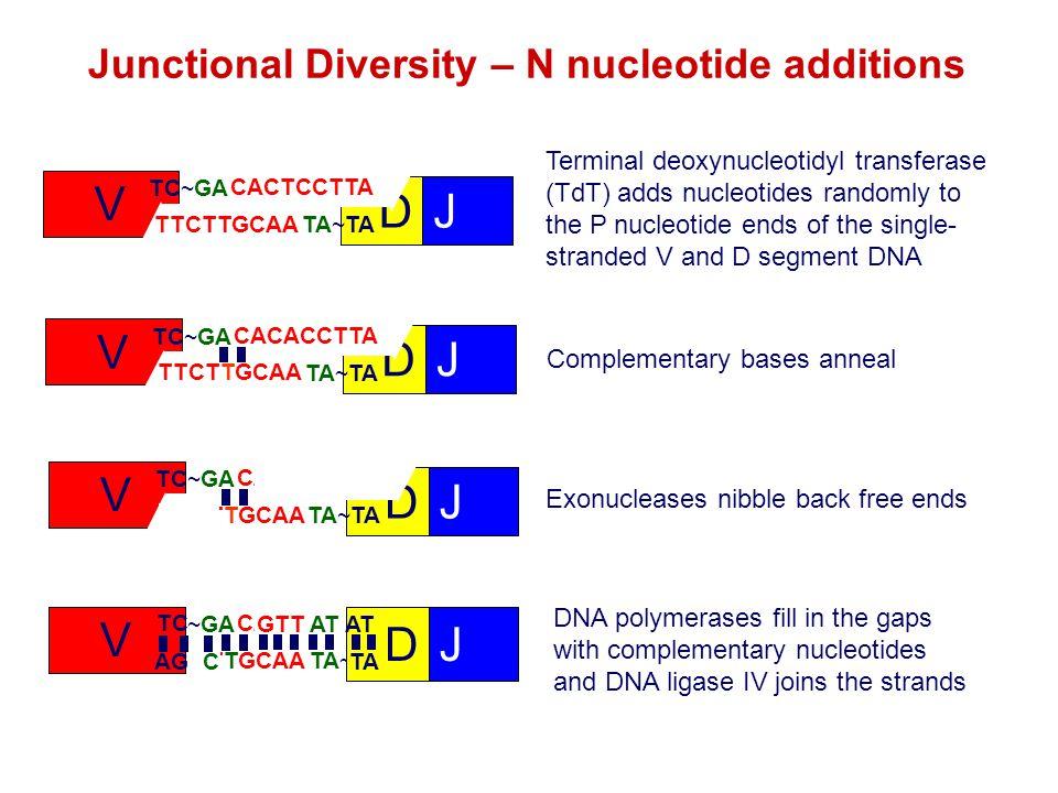 Junctional Diversity – N nucleotide additions