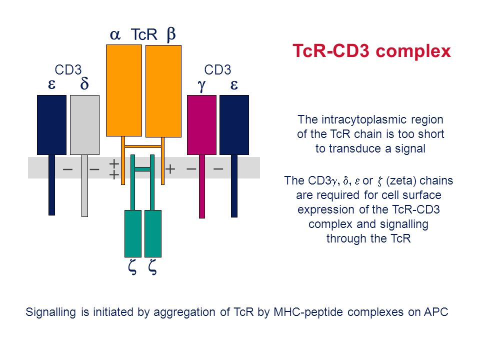 TcR-CD3 complex         TcR CD3 The intracytoplasmic region