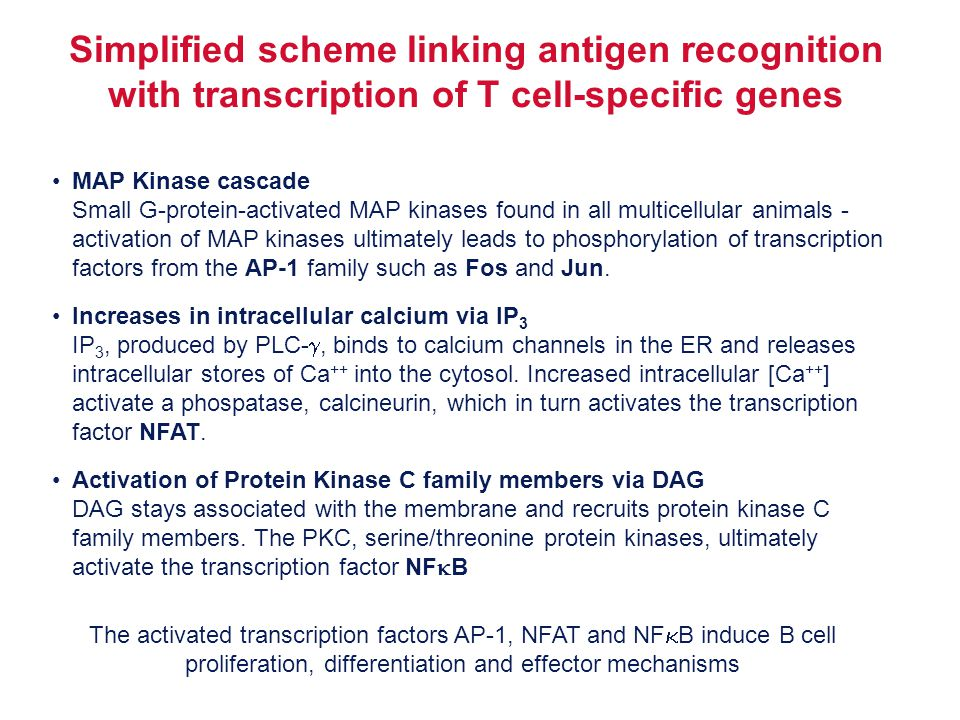 Simplified scheme linking antigen recognition with transcription of T cell-specific genes