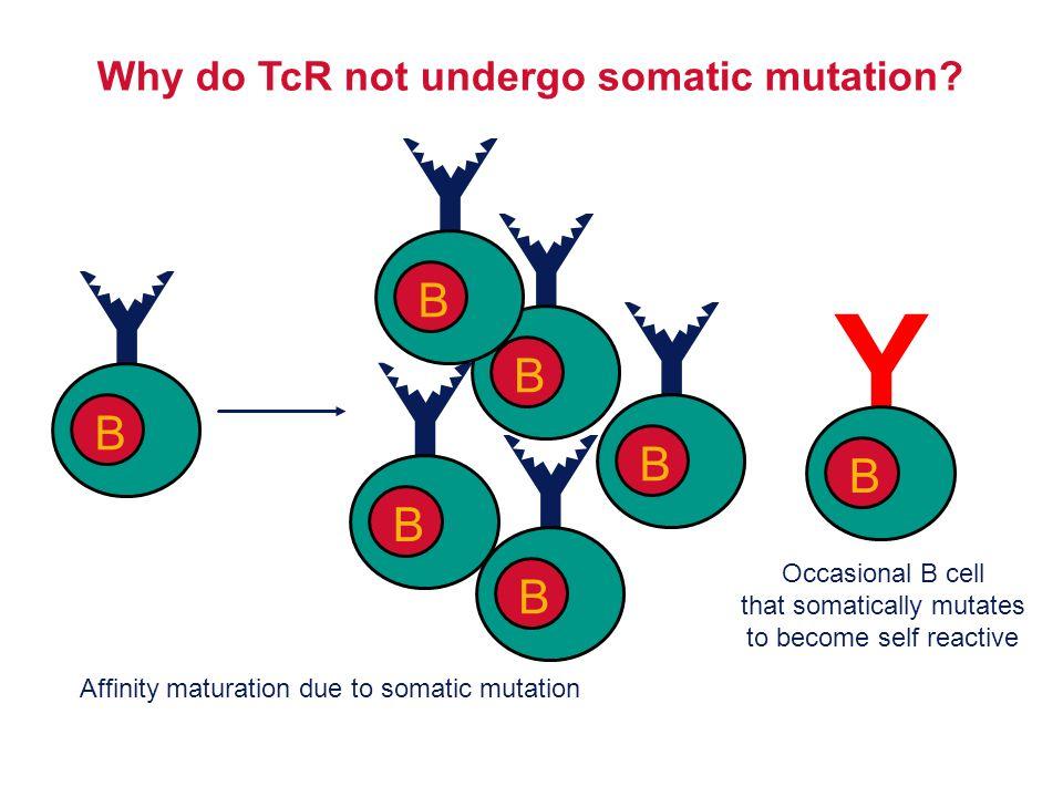 Why do TcR not undergo somatic mutation
