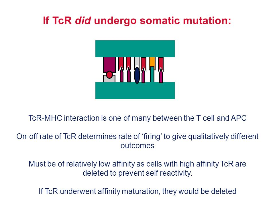 If TcR did undergo somatic mutation: