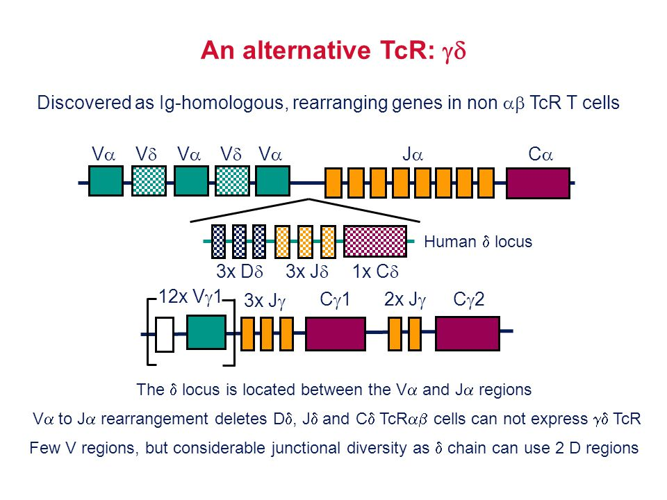 An alternative TcR:  Discovered as Ig-homologous, rearranging genes in non  TcR T cells. V V
