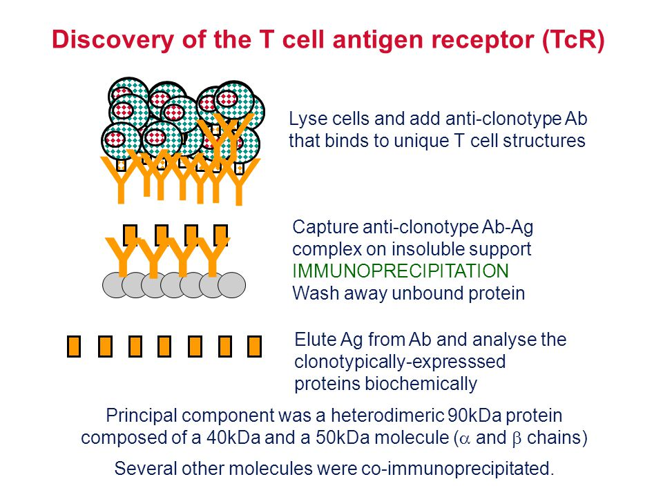 Discovery of the T cell antigen receptor (TcR)