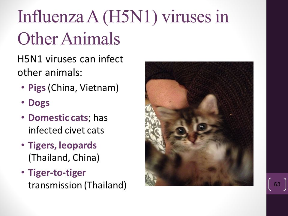 Influenza A (H5N1) viruses in Other Animals