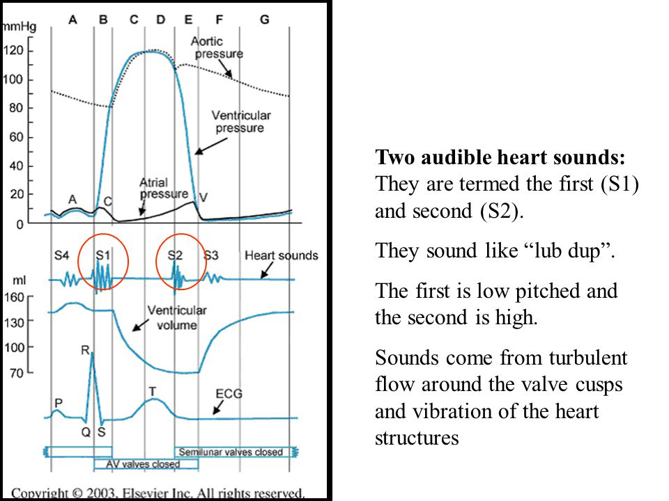 Two audible heart sounds: They are termed the first (S1) and second (S2).