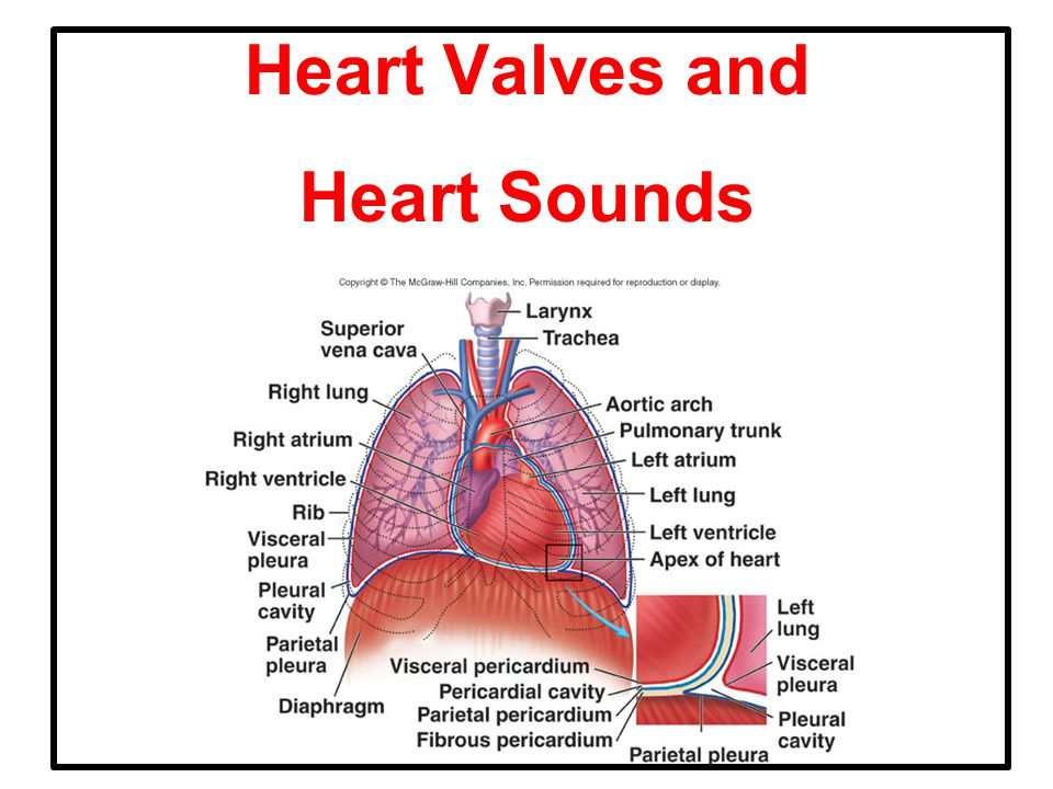 Heart Valves and Heart Sounds