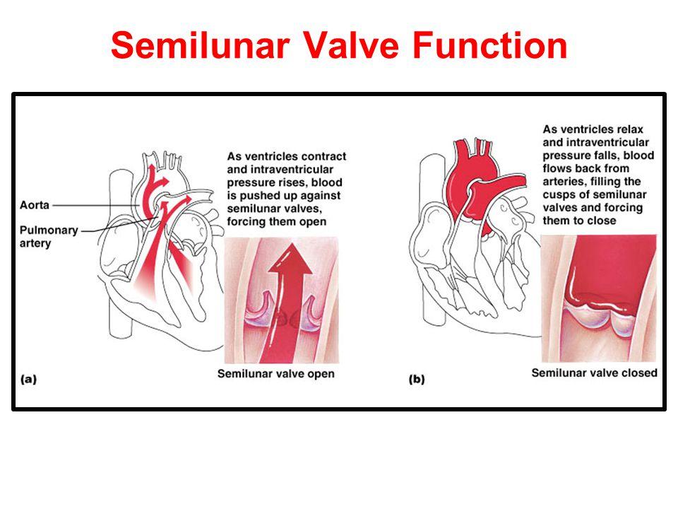 Semilunar Valve Function