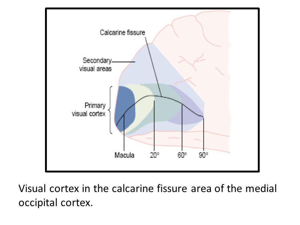 Visual cortex in the calcarine fissure area of the medial occipital cortex.