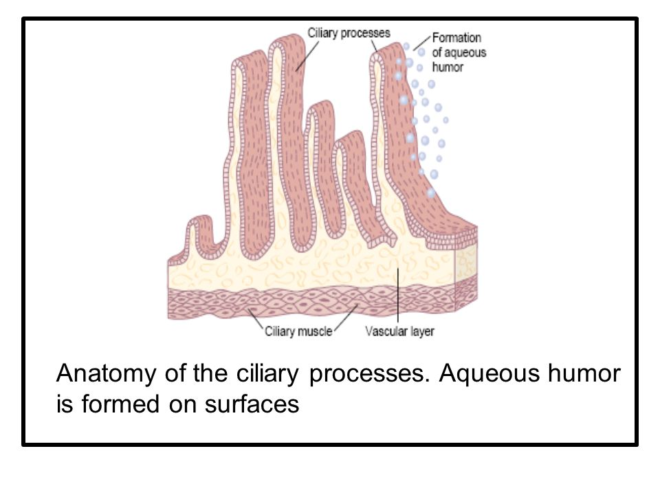 Anatomy of the ciliary processes. Aqueous humor is formed on surfaces