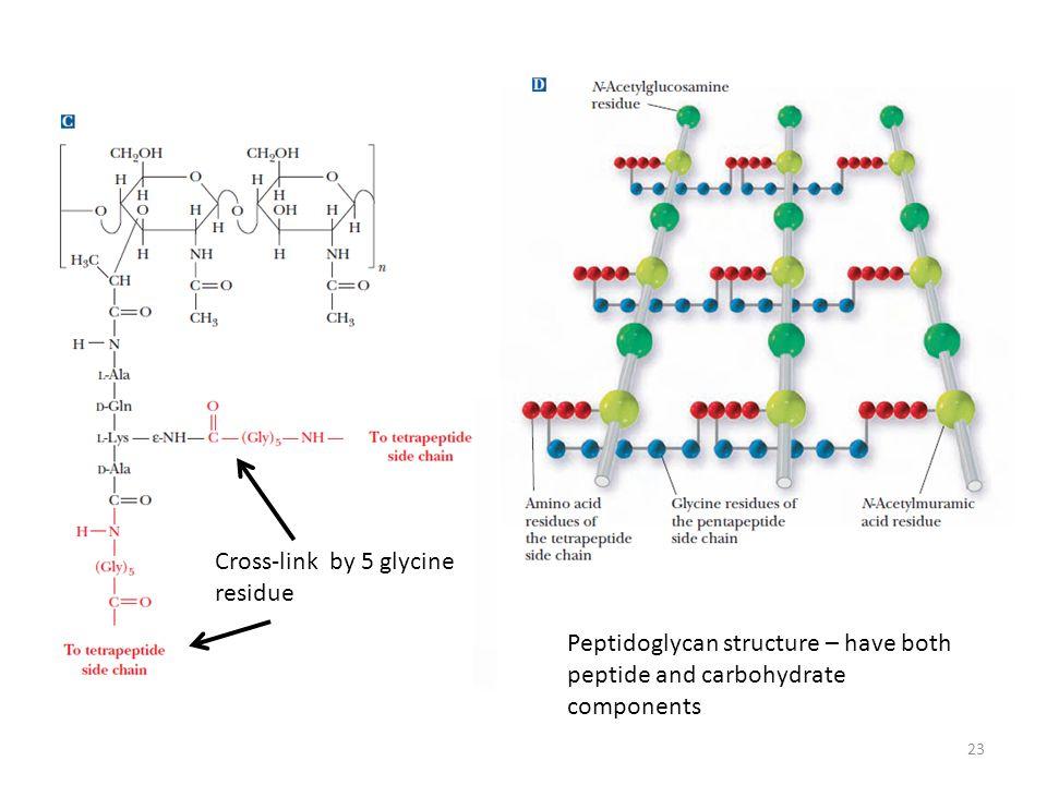 Cross-link by 5 glycine residue