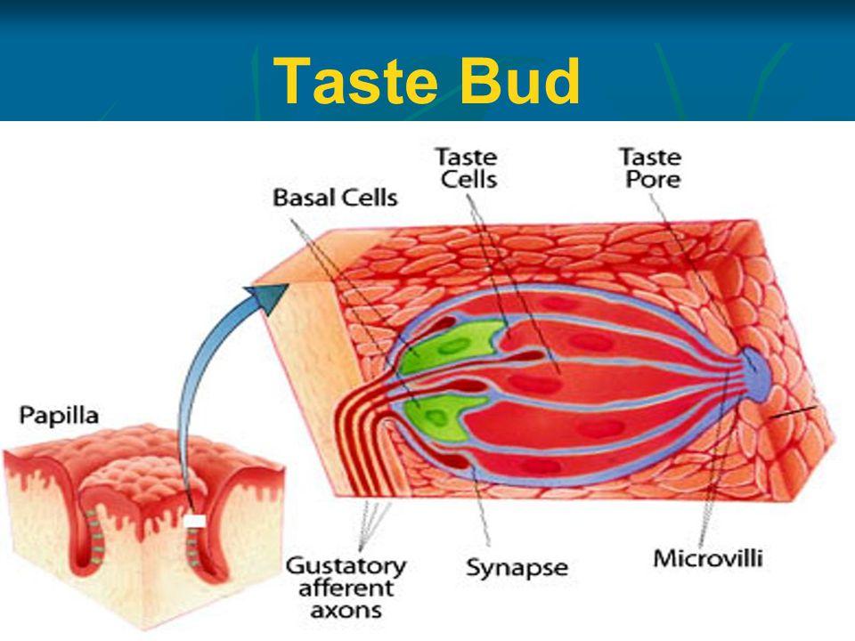 Taste Bud