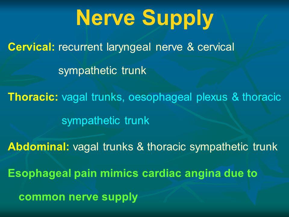 Nerve Supply Cervical: recurrent laryngeal nerve & cervical sympathetic trunk.